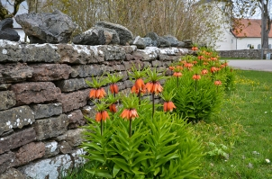 Cottage garden wall repair and replanting majestic Imperial Crown